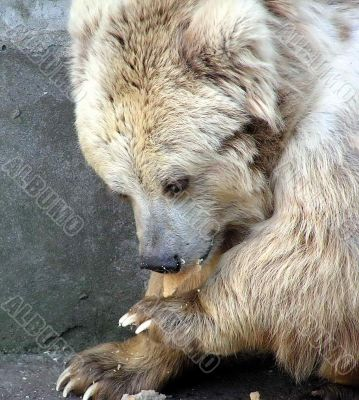 A Bear in Zoo