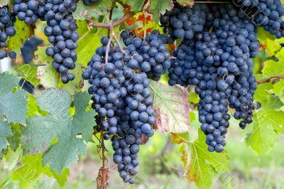 dark blue grapes on vines