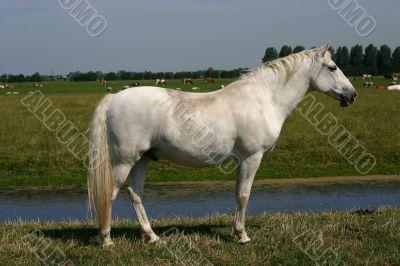 Grey horse, green pasture