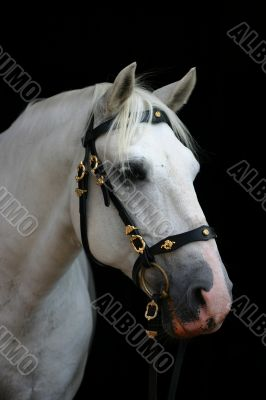 Friendly grey andalusian