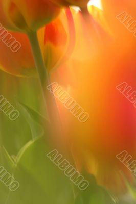 Soft focus tulips