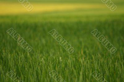 Green and yellow wheat field