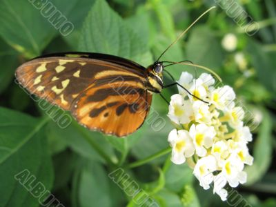 a butterfly drinking nectar from the flower