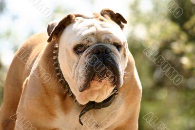 Tough bulldog