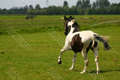 Gallop in the meadow