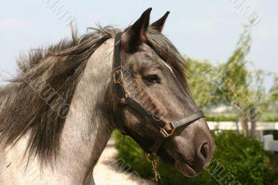 Draught horse head
