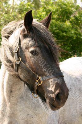 Draft horse portrait