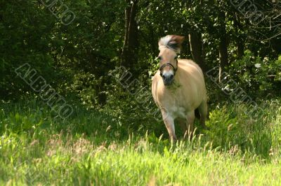 Fjord horse in gallop