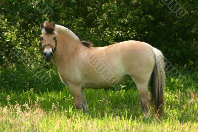 Brown dun fjord pony