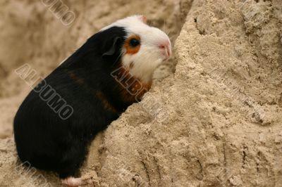 A guinee pig