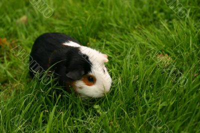 Pet on a grass background