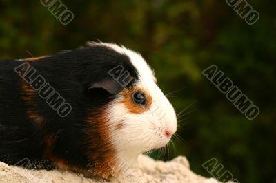 Guinee pig potret