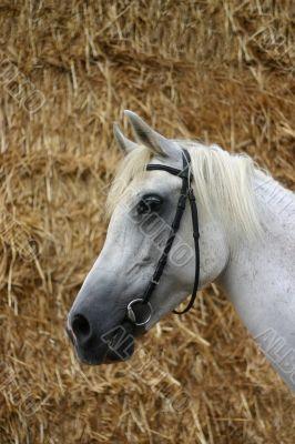 Grey horse against straw
