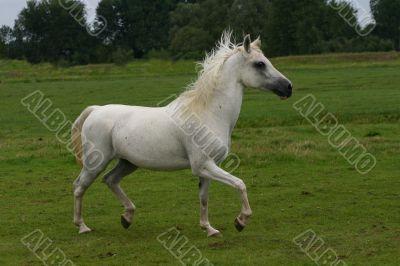 Arabian horse running free
