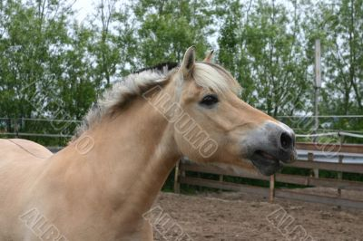 Whinnying horse