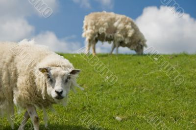 old sheep staring into the lens