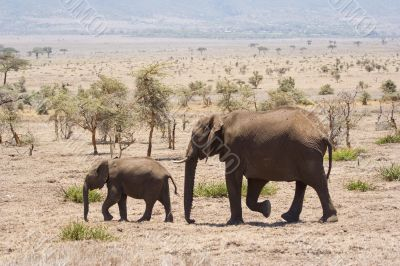 elephants in natural environment