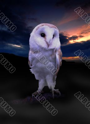 Irish Barn Owl