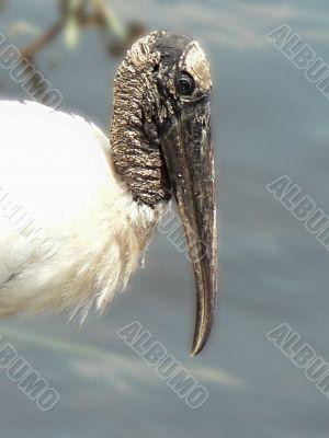 bird - endangered wood stork face 3
