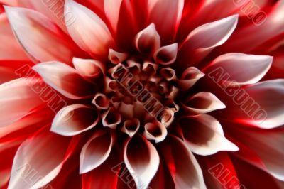 Close up of dahlia blossom