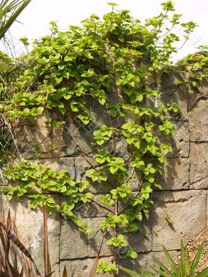 vine on rock wall