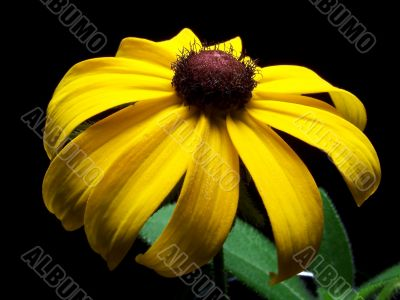 Close Up of a Single Black Eyed Susan Flower
