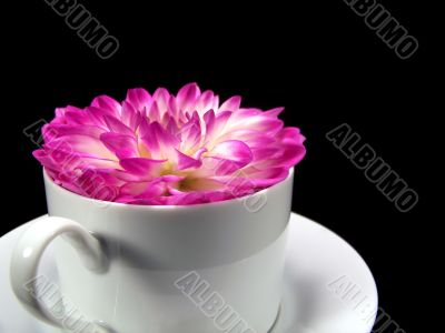 Dahlia Flower Blossom In A Cup