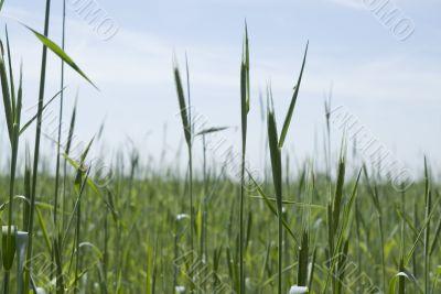 Grain in the fields