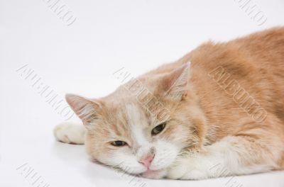 Laying sad cat