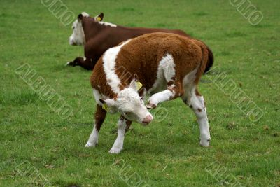 Calf with an itch.