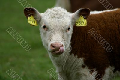 Hereford calf with tongue in nose.