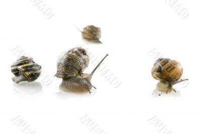solitaire snails