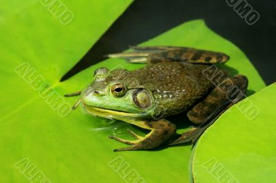 Green frog on lily pad