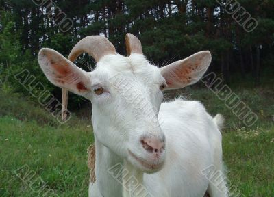 The white goat