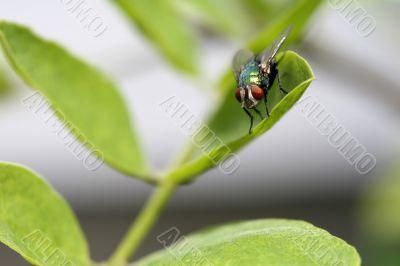 Green Fly on Leaf