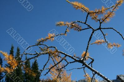 Detail, branches, Western larch