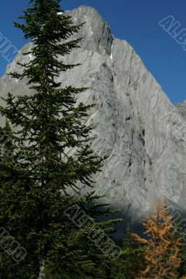 Spruce tree, Mt Birdwood