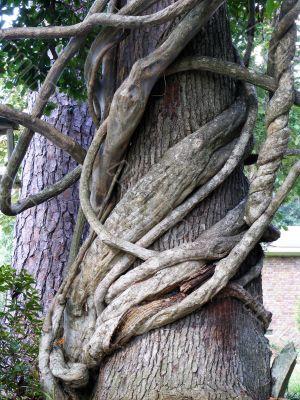Wisteria Vines Wrap Oak tree