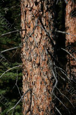 Spruce trunk