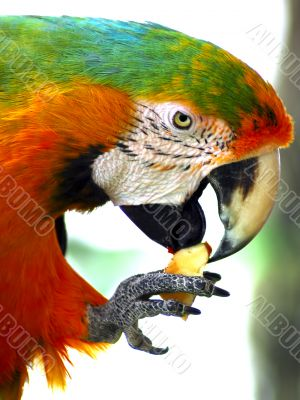 Green Macaw Eating Apple