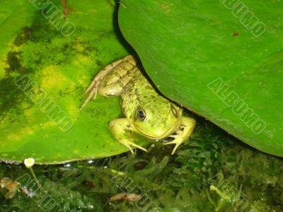 Frog Under Pad