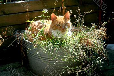 red cat in bucket
