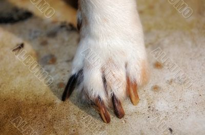 paw of jack russel