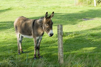 light-brown donkey