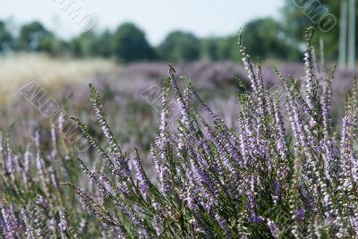 fields with heath