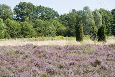 landscape with heath