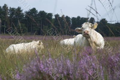 resting white cow