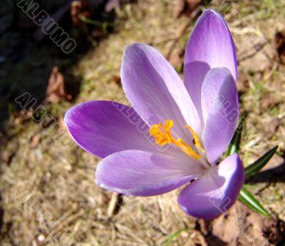 Violet crocus 2