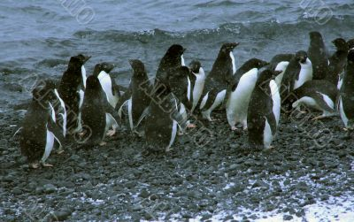 Snowstorm, large group of Adelie penguins