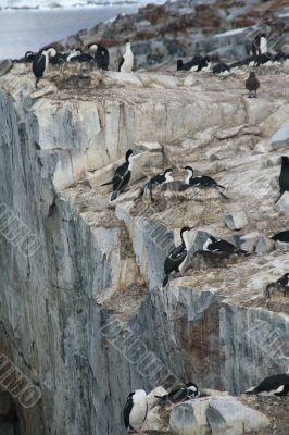 Cormorants co habiting